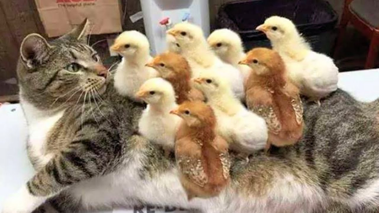 Image of: Cat Memes Watch Funny Cats And Dogs Videos Compilation Animals Doing Things Videoslovingcom Clever Cats Watch Funny Cats And Dogs Videos Compilation Animals Doing Things